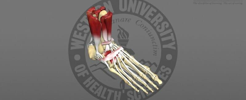 3D model of a skeletal foot